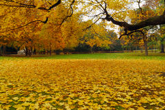 Yellow mapple leaves. Bright yellow maple leaves covering lawn Stock Image