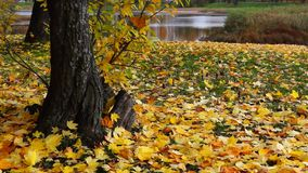 Yellow mapple leaves in park in autumn stock video