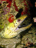 Yellow-Margin Moray Stock Photos