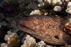 Yellow Margin Moray Eel Royalty Free Stock Photography