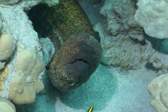 Yellow Margin Moray Eel Stock Photos