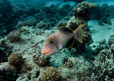 Yellow margin Triggerfish Stock Photography