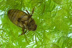 Yellow-margined diving beetle Stock Image