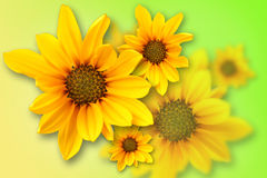 Yellow marguerite Stock Photography