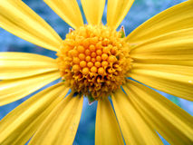 Yellow marguerite Royalty Free Stock Image