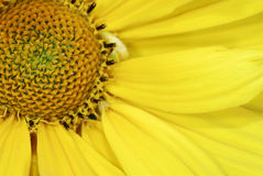 Yellow marguerite flower Stock Photography
