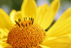 Yellow Marguerite Flower Stock Images