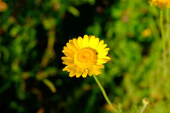 Free Yellow Marguerite Flower In Sunlight Summer Season Nature Details Royalty Free Stock Images - 74659159