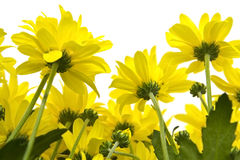 Yellow marguerites Royalty Free Stock Images