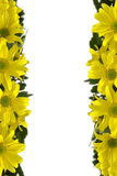 Yellow marguerites Royalty Free Stock Photos
