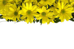 Yellow marguerites Stock Images