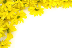 Yellow marguerites Royalty Free Stock Photography