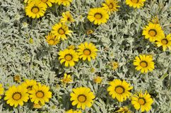 Yellow marguerites Royalty Free Stock Photo