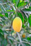Yellow Marian plum Stock Photography