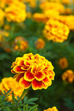 The yellow marigold Stock Photography