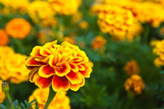 The yellow marigold Royalty Free Stock Images