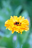 Yellow Marigold. A beautiuful gardenflower and medicine Royalty Free Stock Images