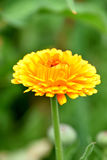 Yellow Marigold. A beautiuful gardenflower and medicine Royalty Free Stock Photography