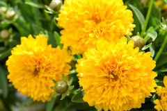 Yellow marigold. This beauty is in flower garden yellow marigold Royalty Free Stock Images