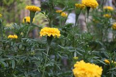 Yellow marigold blossom on the green tree, it is a plant of the daisy family. Yellow marigold blossom on the green tree, it is a plant of the daisy family stock image