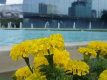 Yellow Marigold on blue pool side Stock Photo