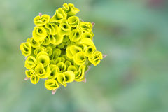 Yellow marigold bud isolated against a green background Stock Images