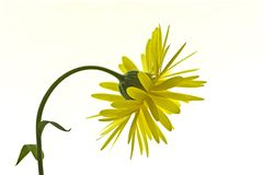 Yellow Marigold/Calendula Blossom Royalty Free Stock Photography