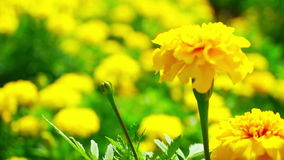 Yellow Marigold Stock Images