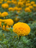 Yellow Marigold flower Royalty Free Stock Photos