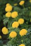 Yellow Marigold flower bloom. Stock Photos