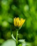 Yellow marigold flower Stock Photo
