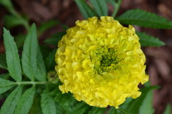Yellow Marigold Flower Royalty Free Stock Images