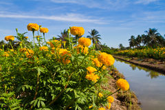 Yellow marigold flower farm Stock Images