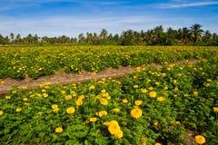 Yellow marigold flower farm Royalty Free Stock Photos