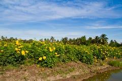Yellow marigold flower farm Royalty Free Stock Photo