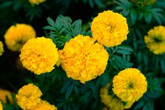 A yellow Marigold flower with green leaves. A yellow Marigold flower in the garden with green leaves stock photos
