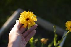 Calendula flower yellow stock photography