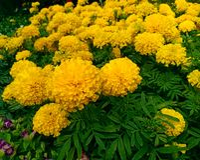 yellow marigold flower image useful wallpaper stock images