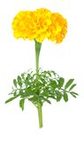 Yellow marigold flower Royalty Free Stock Photography