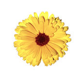Yellow marigold flower isolated Stock Photos