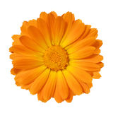 Yellow Marigold flower isolated on white background Royalty Free Stock Photography