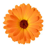 Yellow Marigold flower isolated on white background Royalty Free Stock Images