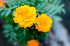 Yellow marigold flower plant in garden front or back yard. A herbaceous plants in the sunflower family. Normally blooms naturally stock photos