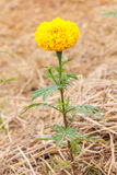 Yellow marigold flower single stand in plantation. Royalty Free Stock Photo
