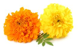 Yellow Marigold flower, Tagetes erecta, Mexican marigold, Aztec marigold, African marigold isolated on white background royalty free stock photo