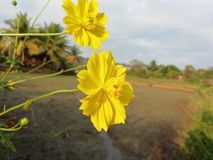 Yellow marigold flower. With paddy field and water stock photography