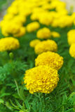 Yellow marigold Royalty Free Stock Photos