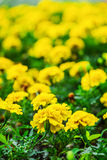 Yellow marigold Stock Images
