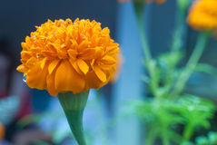 Yellow Marigold Flowers Royalty Free Stock Photography