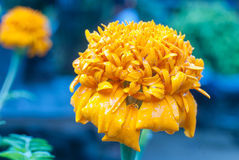 Yellow Marigold Flowers Royalty Free Stock Image
